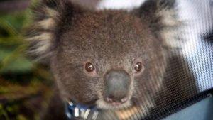 Os coalas do Estado australiano de Nova Gales do Sul (NSW) podem entrar em extinção até 2050