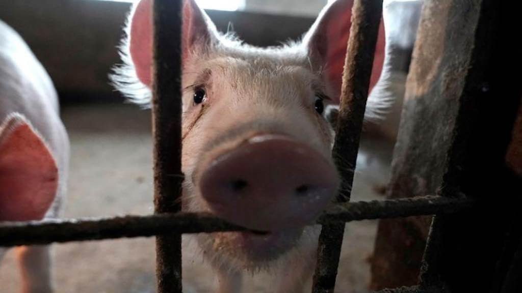 Porco em chiqueiro na província de Henan, na China