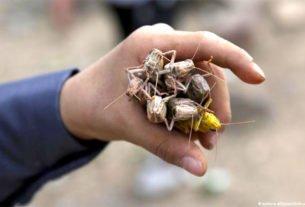 Muitas culturas africanas consomem a proteína contida nos gafanhotos, principalmente, nas rações animais